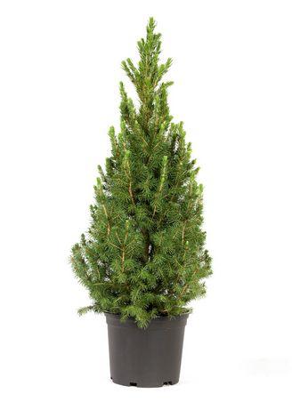 kerstboom mini echte kerstboom picea