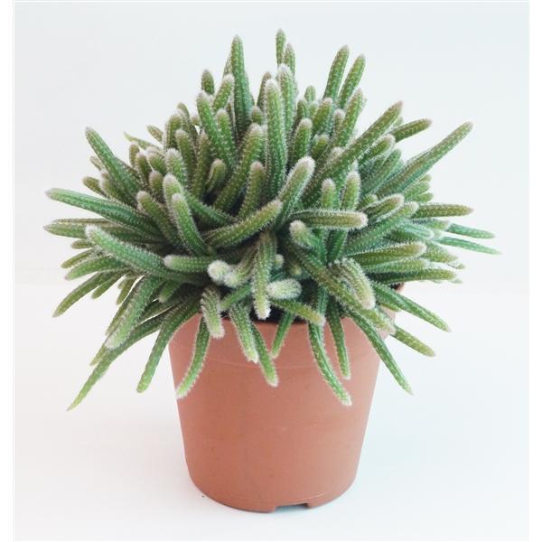rhipsalis horrida aanbieding kamerplanten