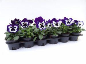 violen voorjaar