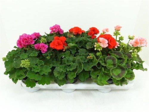 geranium superkoopje tuincentrum gernell aanbieding
